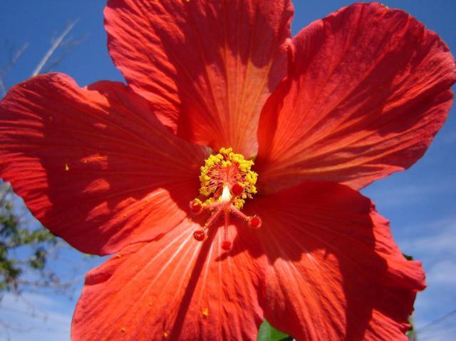 Hibisco: conheça a flor que traz benefícios para a saúde Divulgação/Stock Photos