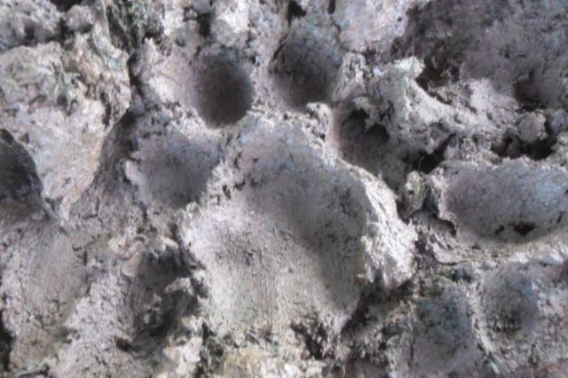 Ataques a rebanhos levantam suspeita da existência de leão-baio no norte do RS Rogério Levinski/Divulgação