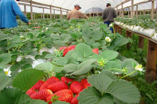 Técnica de cultivar morangos sem utilização de terra amplia produtividade da fruta no Estado Luiz André Steffen/Divulgação