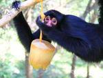 O macaco-aranha se diverte enquanto aprecia um picolé de fruta