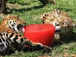 No zoológico de Gramado, na Serra, as onças ganham sorvete de carne de três a quatro vezes por semana durante o verão, e adoram!