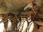 Acostumados com temperaturas entre 3º e 15ºC, os pinguins de Magalhães têm o ambiente refrigerado com ar-condicionado quando a temperatura externa passa dos 25ºC