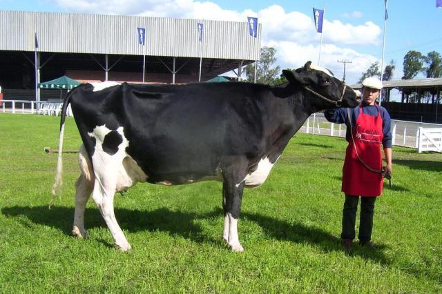 Os segredos da criação da melhor vaca leiteira gilberto cunha/divulgação