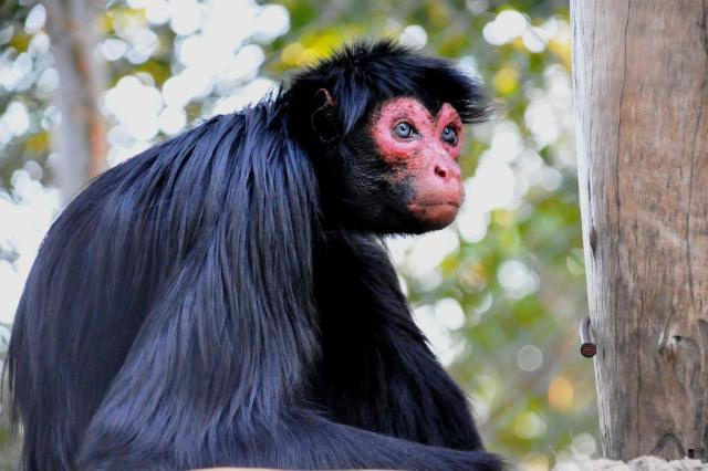 """Macaco-aranha-de-cara-vermelha é o novo """"galã"""" do Gramadozoo Caroline Zanchi,Divulgação/Gramadozoo,Divulgação"""