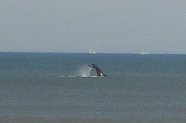 Baleias francas são vistas na costa gaúcha próximo a Tramandaí, no Litoral Norte Gisele Lima de Oliveira  / Arquivo Pessoal /