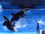 As baleias dão um espetáculo à parte no Estádio da Shamu, no SeaWorld de Orlando