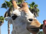 Durante o Serengeti Safari, no Busch Gardens, em Tampa, é possível alimentar as girafas