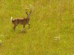 Veado-campeiro (Ozotoceros bezoarticus): vive nos campos, cerrado e Pantanal. No RS, Campos de Cima da Serra e campos da Fronteira