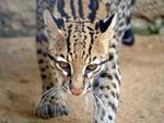 Jaguatirica (Leopardus pardalis): vive em florestas, cerrado, caatingas e Pantanal. No RS: metade Norte e Serra do Sudeste
