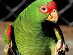 Charão (Amazona pretrei): vive em campos com capões de mata. No RS, Serra do Sudeste e Planalto Médio. No inverno, Campos de Cima da Serra
