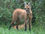 Lobo-guará (Chrysocyon brachyurus): vive em campos e cerrado. No RS, Campos de Cima da Serra e Meio-Oeste