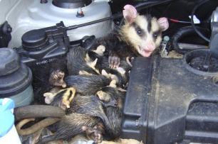 Família de gambás é encontrada em motor de carro Divulgação/PMPA