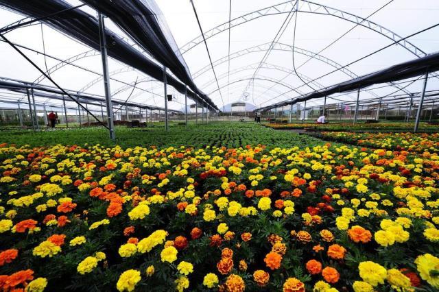 flores cidade jardim:Mercado das flores: Pareci Novo é uma cidade com jeito de jardim