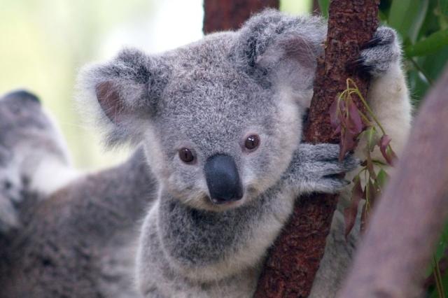 Austrália mata centenas de coalas que passavam fome Erik Veland/CC