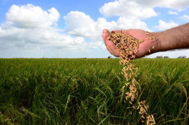 Colheita oficial do arroz tem início no sábado, no município de Mostardas Tadeu Vilani/Agencia RBS