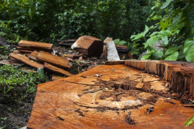 Madeireiros ilegais, pecuaristas e especuladores de terra devastam as florestas de Honduras Rodrigo Cruz/NYTNS