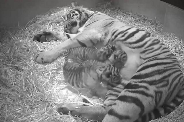 VÍDEO: Trio de tigres raros nasce no zoológico de Londres ZSL London Zoo/Reprodução Youtube