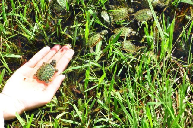 Dois mil filhotes de tartarugas são devolvidos a canal de Pelotas Katia Dias/Divulgação