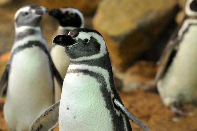 Filhotes de pinguins concluem primeira troca de penugem para o inverno, em zoológico da Serra Halder Ramos/Divulgação