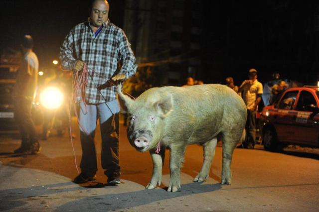 Porco foge de chiqueiro na Vila Bom Jesus e muda a rotina da zona leste de Porto Alegre  Diogo Zanatta/Especial