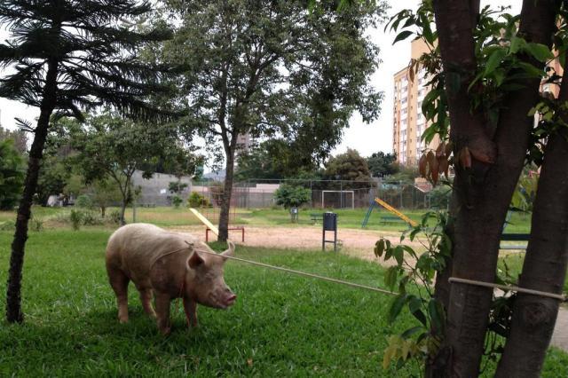 Como um porco de 250 quilos foi parar nas ruas de Porto Alegre Cláudio Rabin/Agencia RBS