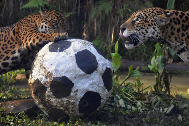 Em clima de Copa, onças jogam futebol no Gramadozoo Halder Ramos/Gramadozoo