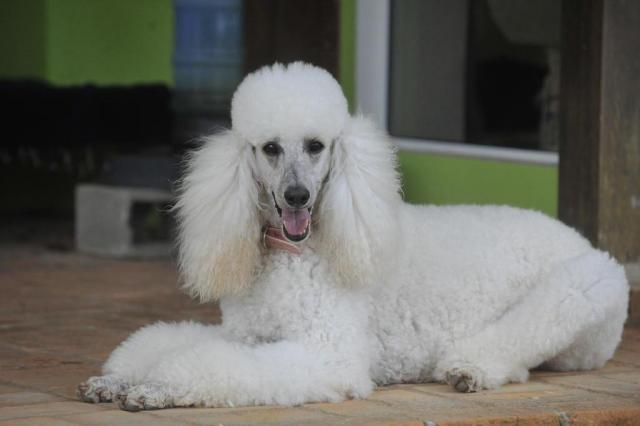 Pelo de poodle pode ser transformado em tecido, aponta estudo Caio Marcelo/Agencia RBS