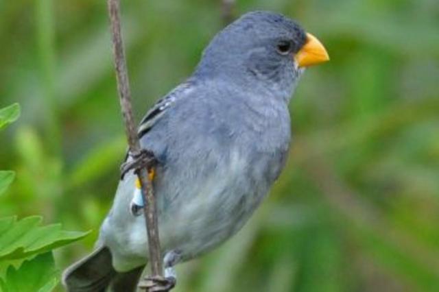 Pesquisadores da PUCRS descobrem nova espécie de pássaro do Brasil Márcio Repenning/Divulgação
