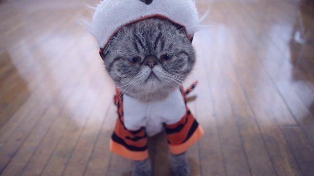 Celebridades felinas da internet fazem campanha para defender tigres Divulgação/Greenpeace
