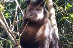 Macacos-prego andam soltos na Vila Amazônia, em Porto Alegre Divulgação/Smam
