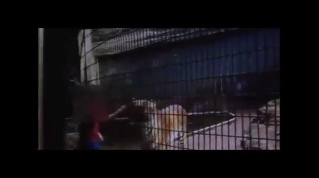 Tigre que atacou menino no Paraná volta para o zoológico Reprodução/