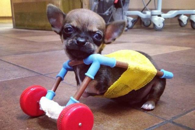 """Cachorro sem patas ganha """"cadeiras de rodas"""" feita com peças de brinquedo Turbo/Instagram"""