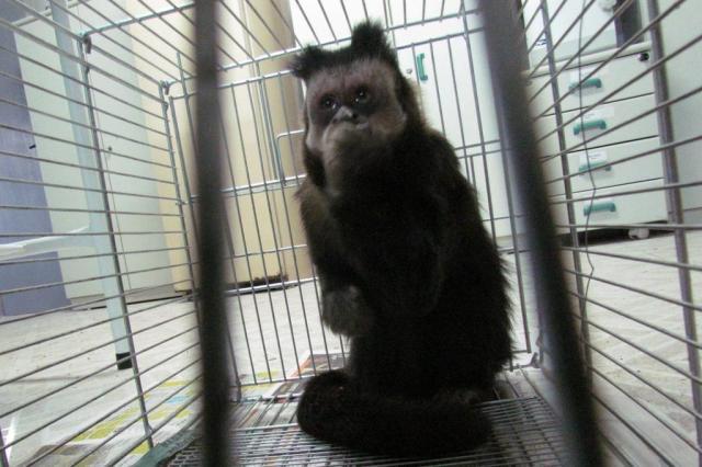 Smam pede ajuda da população para encontrar bando de macacos em Porto Alegre  Cláudia Enk de Aguiar,Ibama/Divulgação