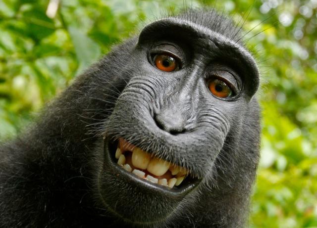 Fotógrafo disputa com Fundação Wikimedia selfie feita por macaco David Slater/Wikimedia