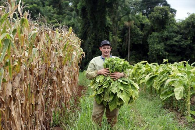 Agricultores reduzem dependência do tabaco, mas cultura ainda tem os maiores ganhos Tadeu Vilani/Agencia RBS