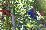 Mão indígena na colheita da maçã em Vacaria