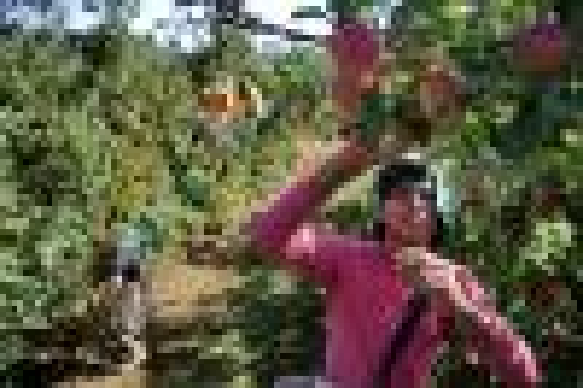 Professor troca baixo salário no Maranhão para colher maçã em Vacaria Lauro Alves/Agencia RBS