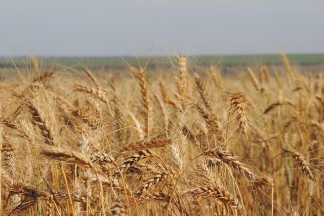No verão e com irrigação, plantio de trigo avança em MG com alta produtividade Joseani Antunes/Embrapa,Divulgação