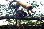 Macacos-prego que viviam em mantenedouro de Santa Maria serão devolvidos à natureza Jean Pimentel/Agencia RBS
