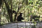 Macacos-prego são reintroduzidos na mata nativa em Canela Vanessa Braga/Divulgação/