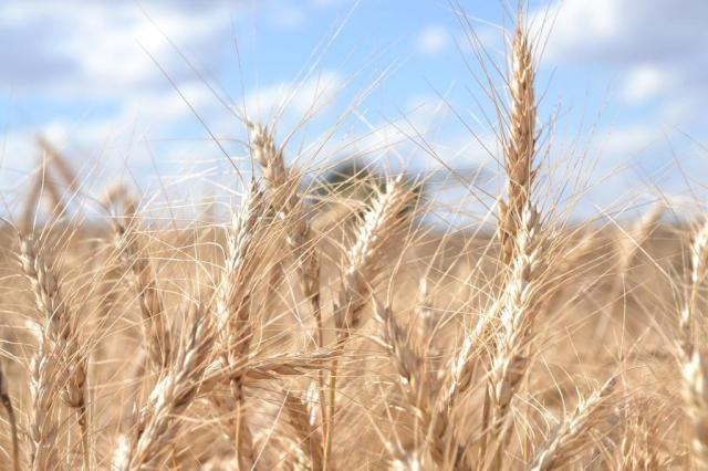 Gisele Loeblein: quais serão os limites do trigo no RS Henrique Silva Siqueira/Especial