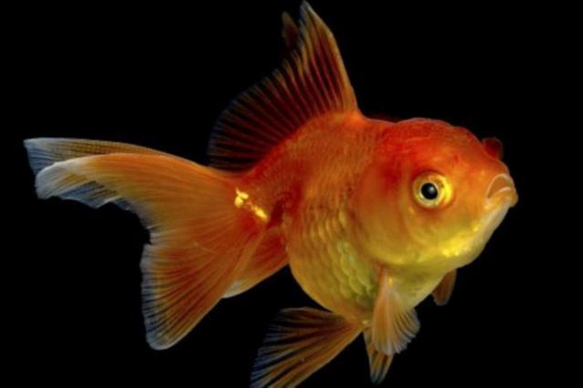 Tecnologia deixa humanos com atenção mais curta que de peixinho dourado, diz pesquisa Thinkstock/BBC
