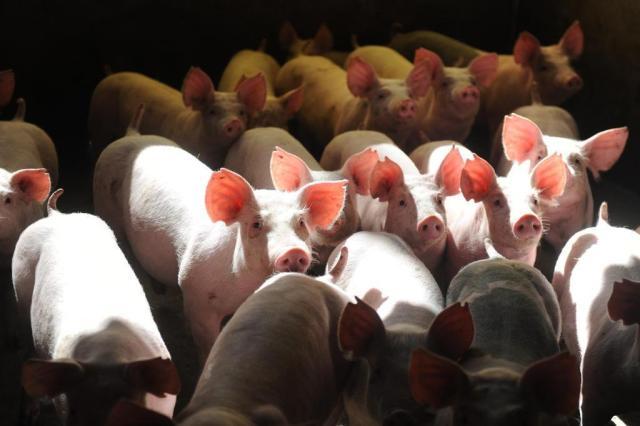 Gisele Loeblein: campanha incomoda produtores de suínos Sirli Freitas/Agencia RBS