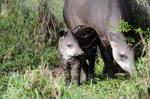 Filhote de anta é atração do zoológico de Sapucaia do Sul