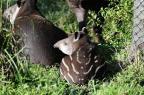 Zoo de Sapucaia faz enquete para batizar anta e Dunga é o nome mais votado Ronaldo Bernardi/Agencia RBS
