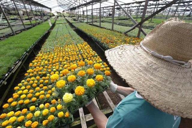 Produção de flores no Rio Grande do Sul aposta em tecnologia para driblar o frio e cultivar o ano todo Fernando Gomes/Agencia RBS