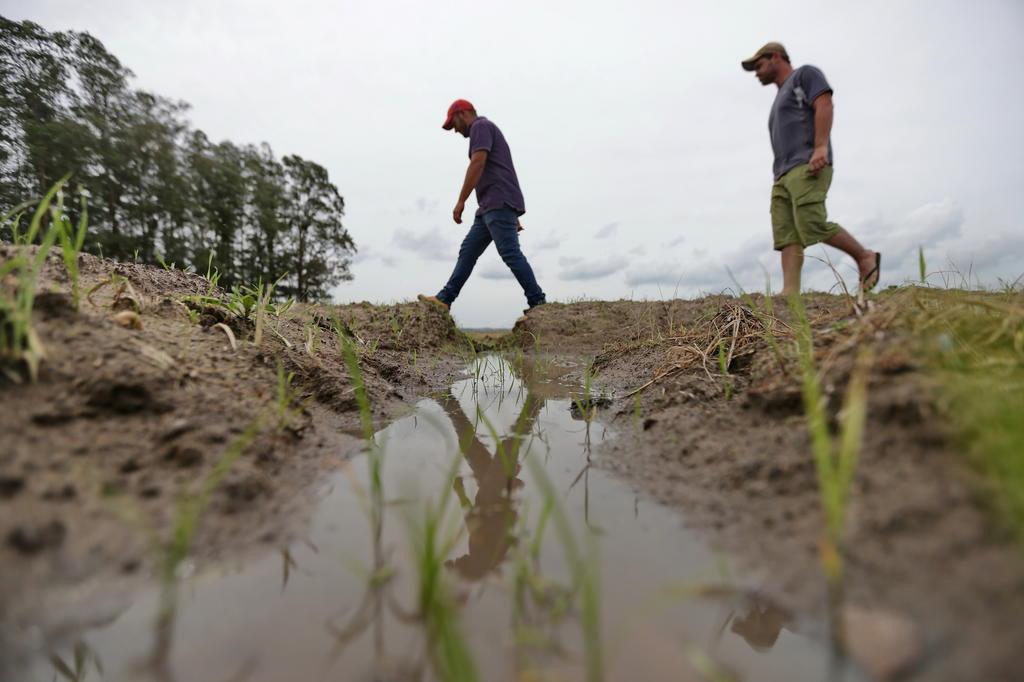 Excesso de chuva prejudica lavoura de arroz no Rio Grande do Sul Lauro Alves/Agencia RBS