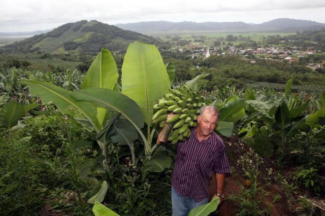 Cultivares prometem bananas mais resistentes a pragas Tadeu Vilani/Agencia RBS