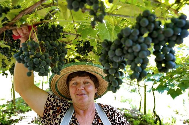 Crescimento do mercado de sucos revigora produção de uvas na Serra Fernando Gomes/Agencia RBS