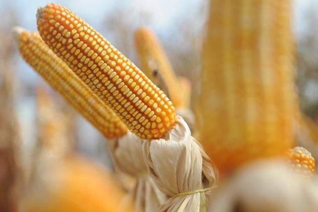 Especialistas avaliam oferta de milho de estoque pública  Sirli Freitas/Agencia RBS